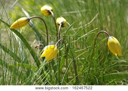 Yellow wild tulip. Beautiful spring flowers on green grass