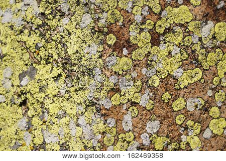 Mosses and lichens close-up. Moss on the rock