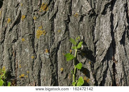 Green climbing plant on old trunk with lichens, branch of ivy growing on the tree trunk