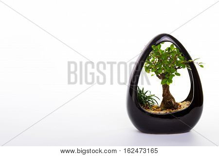 small bonsai tree in a beautiful ceramic pot on a white background with space for text.