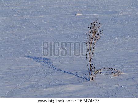 Tansy Bush In Snowy Field