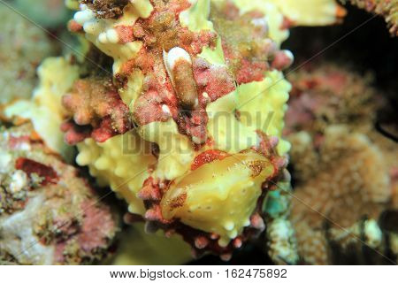 Close-up of a Clown Frogfish (Antennarius Maculatus aka Warty Frogfish). Padang Bai Bali Indonesia