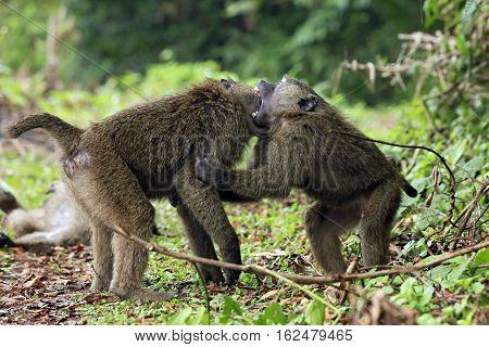 Juvenile Olive Baboons (Papio Anubis) Fighting. Bigodi Swam Uganda