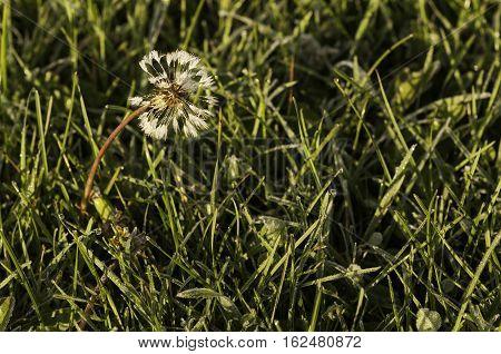 Morning frost melting on frail dandelion in autumn