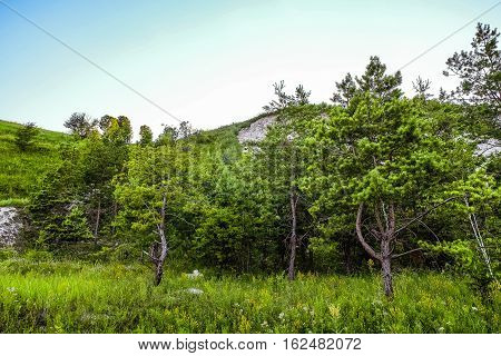 Young pine trees at the foot of the chalk hills. The archaeological monument - Krapivinskaya settlement Belgorod region Russia.;