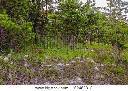 Relic pine cretaceous chalk outcrops on the hill. Cretaceous Forest. Natural monument.