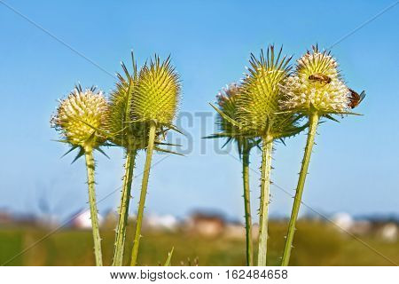 Flowering thistle inflorescence (in Latin: Dipsacus laciniatus) with bees on them on the background of blue cloudless sky in summer