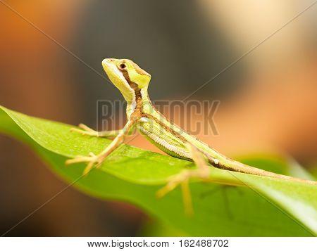 Serated Caquehesd Iguana on the leaf - Laemanctus serratus