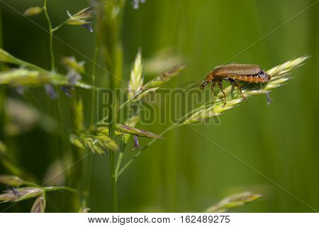 Soldier Beetle (Cantharis livida) climbing on a Grass-Stalk