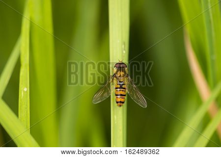 Marmalade Fly (Episyrphus balteatus) hoverfly resting on a Grass-Stalk