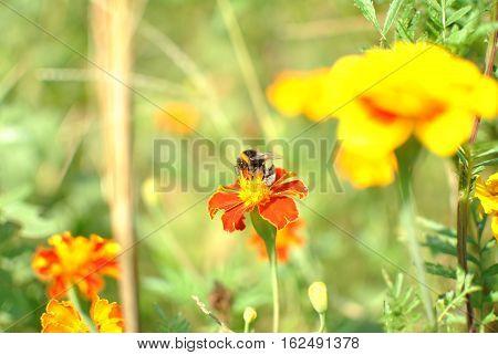 Насекомое шмель собирает пыльцу на цветке бархатцы