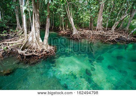 Mangrove tree Tha Pom Khlong Song Nam Krabi Thailand