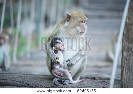 Monkey mother with a baby monkey sits on timber