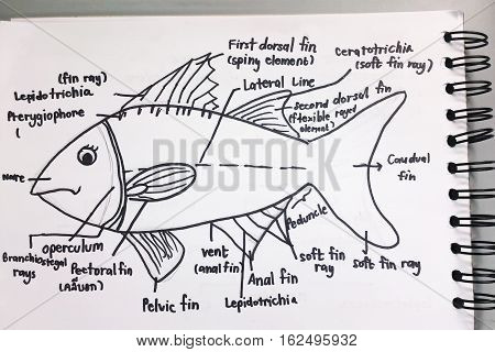 Anatomy of a fish sketchup on notebook