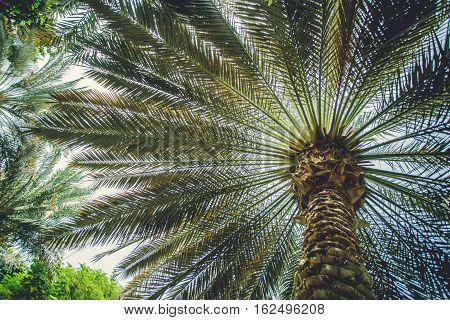 Green date fruit palm in Dubai Emirates.