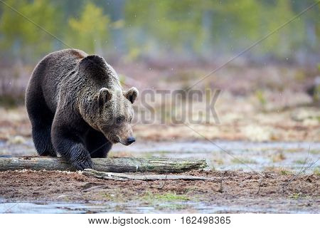Wild brown bear walking in the taiga and looking for food in late winter