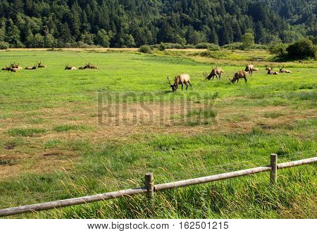 A herd of huge bull elk grazing at Dean Creek Elk Viewing area near Reedsport on Oregon's Central Coast on a summer day.