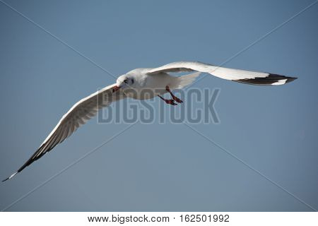 Seagull flying against blue sky background in Thailand.