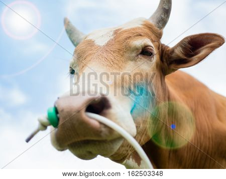 closeup of cow or bull head and focus at eye with white cloud, bright blue sky and light Fair
