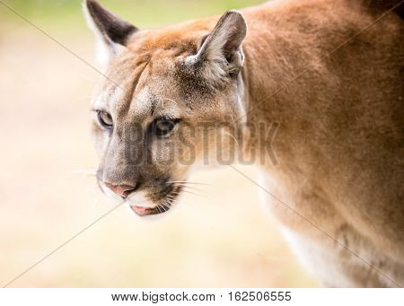 A cougar paces back and forth in its enclosure at the wildlife center near Savannah, Georgia