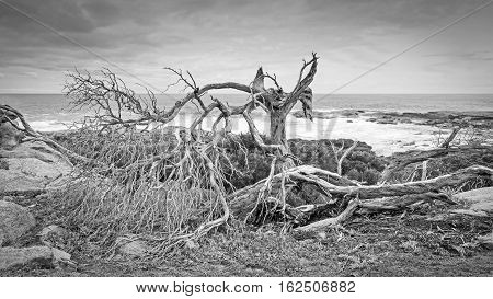 Skeleton of a tree with a coastal background at Cape Freycinet in Western Australia. Monochrome image.