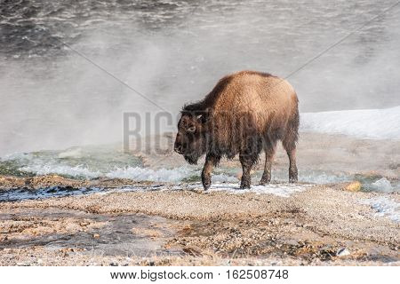 Young American Bison (Bison bison) aka buffalo exploring a steamy thermal area in Yellowstone National Park
