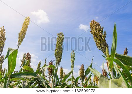 Millet Field With Blue Sky
