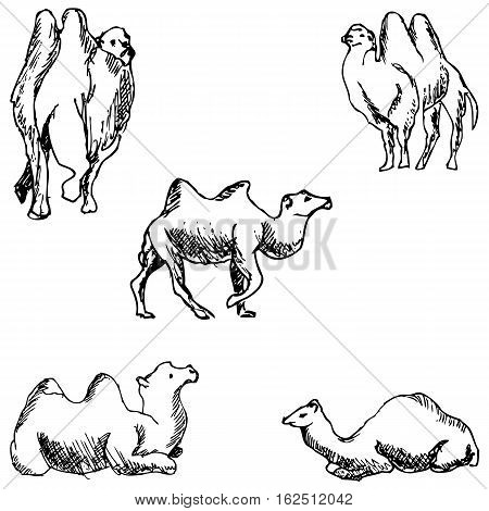 Camels. A sketch by hand. Pencil drawing. Vector image