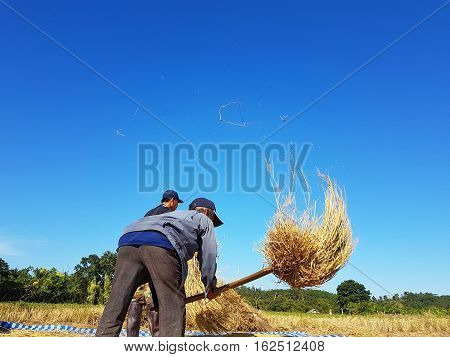CHIANG RAI THAILAND - NOVEMBER 23 : unidentified Thai farmer threshing by beating rice to separate seed from the trunks on the ground on November 23 2016 in Chiang rai Thailand