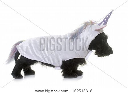 unicorn puppy scottish terrier in front of white background