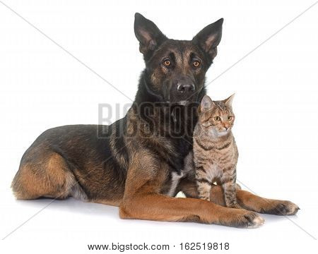 belgian shepherd malinois and cat in front of white background