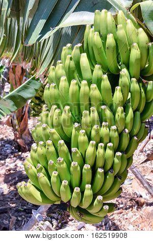 Banana Plantation Field