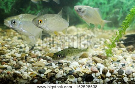 Carp, Roach, Gudgeon In The Aquarium Fresh Water.