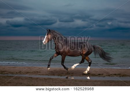 Buy horse runs on the beach on the sea background