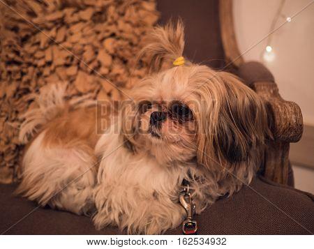 Cute Shih Tzu Is Crouching On A Chair