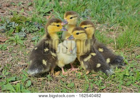A close up of the very small chicken and ducklings.
