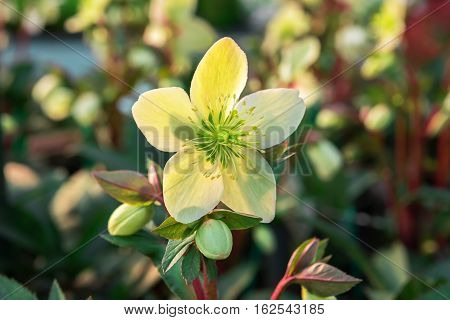 Hellebore used in the Netherlands as a winter flowering houseplant