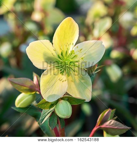 Hellebores used in the Netherlands as a winter flowering houseplant