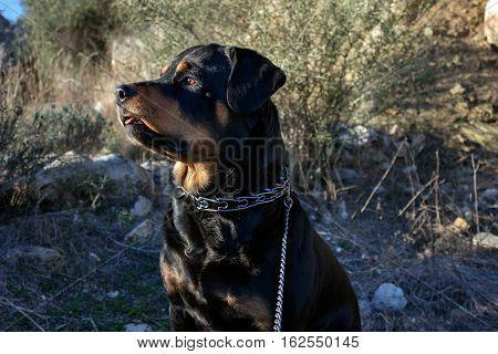 Dog for a walk among the tall grass. Rottweiler.