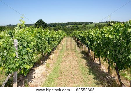 Summer Day In Medoc Vineyards At Bordeaux France, The Best Wine In World