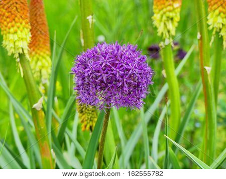 This is a wonderful allium giganteum plants.