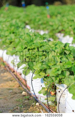 Drip irrigation system Water saving drip irrigation system being used in strawberry farm.