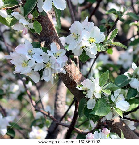 Apple Blossoms Close-up