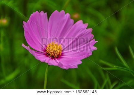 Cosmos is a species native to North America. The plant is between approximately 1 year.