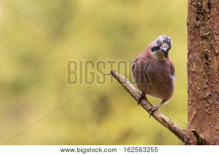 Eurasian jay on the lookout from a branch