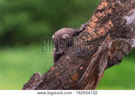 Fisher (Martes pennanti) Kit Turns to Climb Down Branch - captive animal