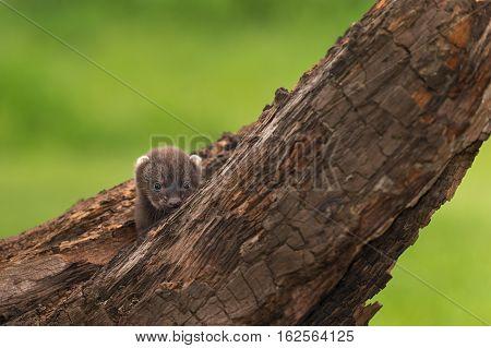 Fisher (Martes pennanti) Kit Peeks Over Branch - captive animal