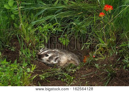 North American Badger (Taxidea taxus) Flattens Himself in Den - captive animal