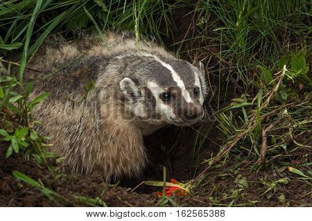 North American Badger (Taxidea taxus) Stands In Den to Right - captive animal