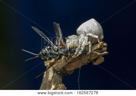 white crab spider was eating with his catch, blue background